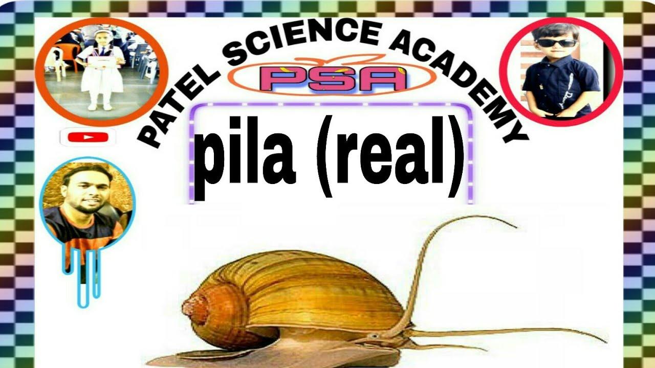pila( real)
