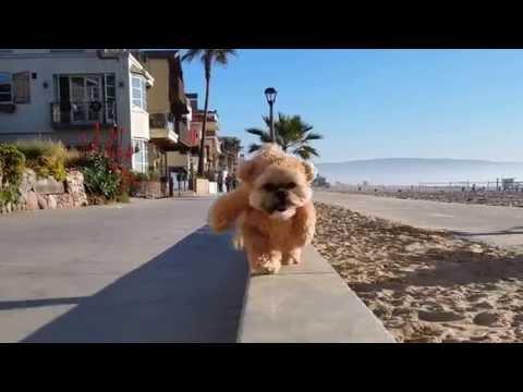 Munchkin the Teddy Bear strolls along the beach
