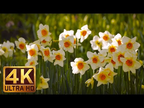 Daffodil Flowers 4K UHD Video Relaxation for Stress Relief - (2 hours) Nature Sounds Skagit valley