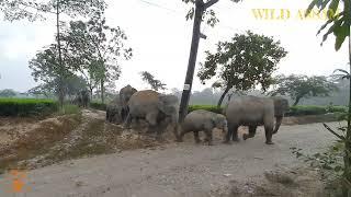 NUMALIGARH ELEPHANT HERD