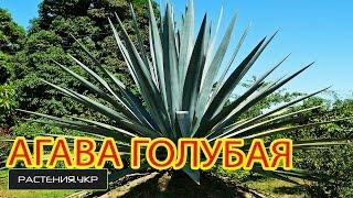 Агава голубая / blue Agave(Агава купить у нас на сайте.Хвойные растения, Смотрите агава фото а так-же посадка ели и уход ,агава растени..., 2015-05-18T06:52:51.000Z)