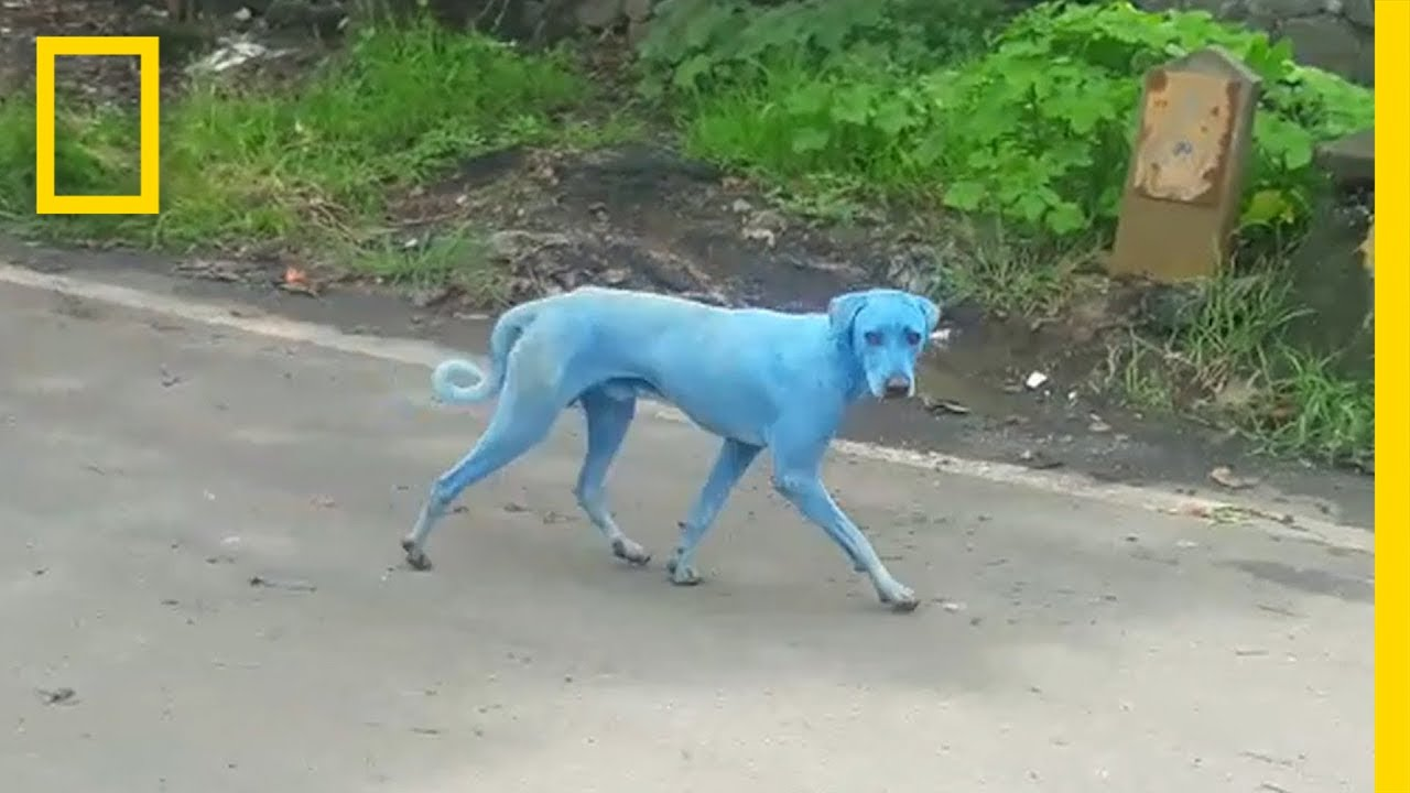 blue dogs spotted in india u2014what u0027s causing it national