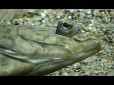 Flounder & Turbot Saltwater Aquarium / Flunder & Steinbutt im Zoo Leipzig