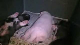 面白い姿勢で紀州犬の仔犬が爆眠しています。 どんな夢を見ているのでし...