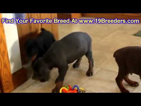 Doberman Pinscher, Puppies, For, Sale, In, East Honolulu, Hawaii, HI, Makaha, Pukalani, Haiku Pauwel