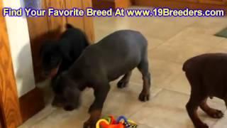 Doberman Pinscher, Puppies, For, Sale, In, East Honolulu, Hawaii, Hi, Makaha, Pukalani, Haiku Pauwel
