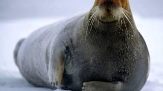Хищники. Тюлени и моржи