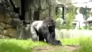 Download Gorila se irrita e agride funcionários de zoológico    Vídeos online grátis   Terra TV Mp3