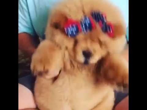 Teddy Bear Chow Chow Puppy Dancing