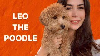 Toy Poodle Köpek Bakımı | Taranması, Uykusu, Tuvalet eğitimi | LEO THE POODLE!