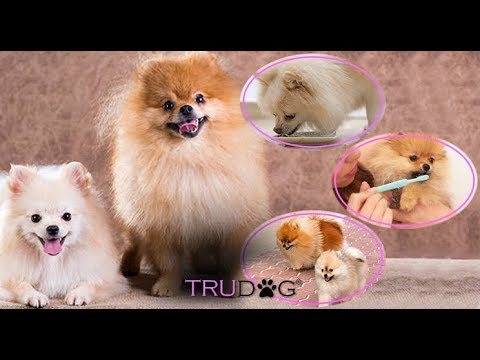 Ultimate Guide To Pomeranian Dog