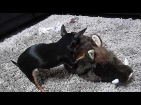Chihuahua vs. Cinghiale
