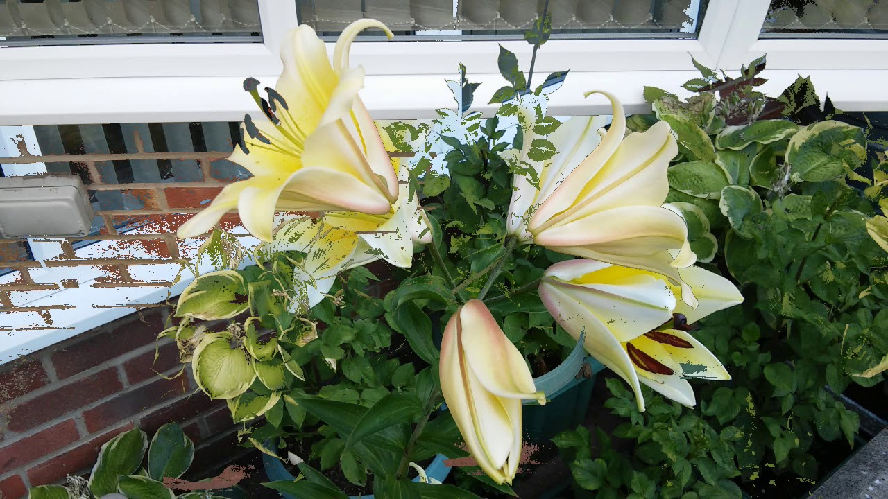 Images of my yellow lily symbol of innocence purity and beauty images of my yellow lily symbol of innocence purity and beauty izmirmasajfo