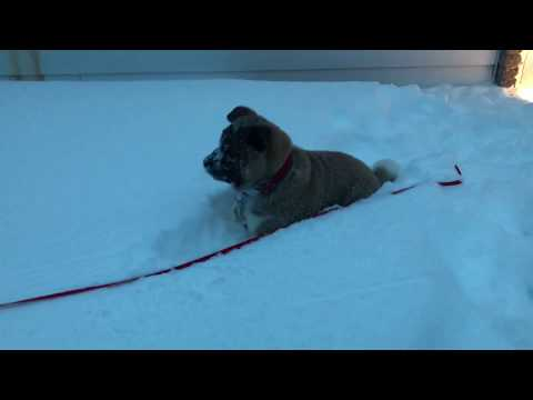 Kai the Akita Dog Plays In Snow For The First Time