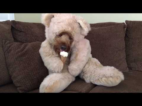 Teddy Bear Dog Eats An Ice Cream Cone That Goldendoodle