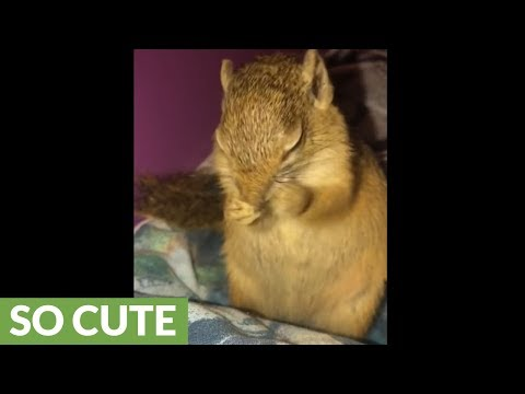 Sneezing pet squirrel will brighten your day