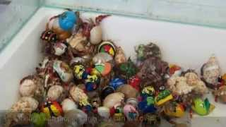 Hermit Crabs The mistreated Animal |Proper Crab Care|