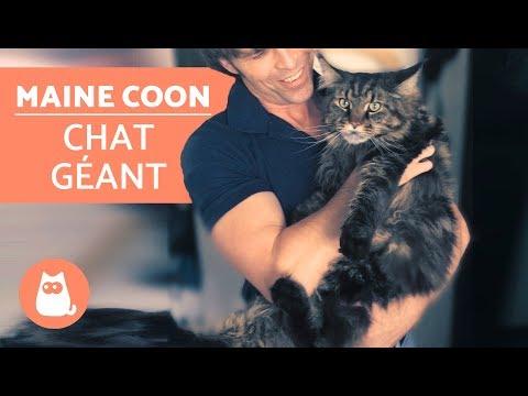 Découvrez tout sur le chat MAINE COON - Le chat GÉANT