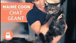 Découvrez tout sur le chat MAINE COON  Le chat GÉANT