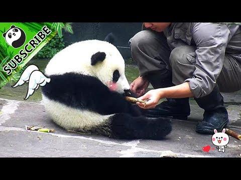 Lovesick panda boy lost his appetite | iPanda