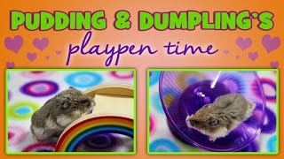 PUDDING & DUMPLING's Playpen Time! Thumbnail