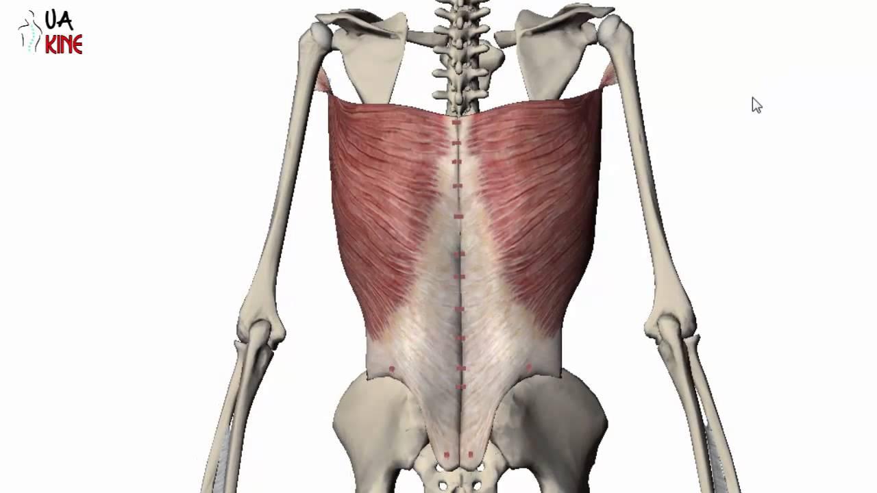 Anatomía del Dorsal Ancho (características) - YouTube