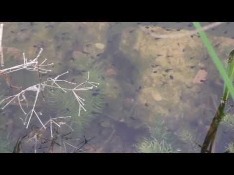Kaulquappen der heimischen Erdkröte