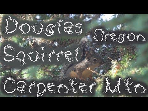 Douglas Squirrel (Tamiasciurus douglasii) Alarm Call, Carpenter Mtn, Oregon, USA