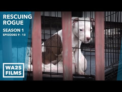 Chained Puppy Dog-Fighter Confronted Rescuing Rogue Season 1 Episode 9-13 - Hope For Dogs | My DoDo