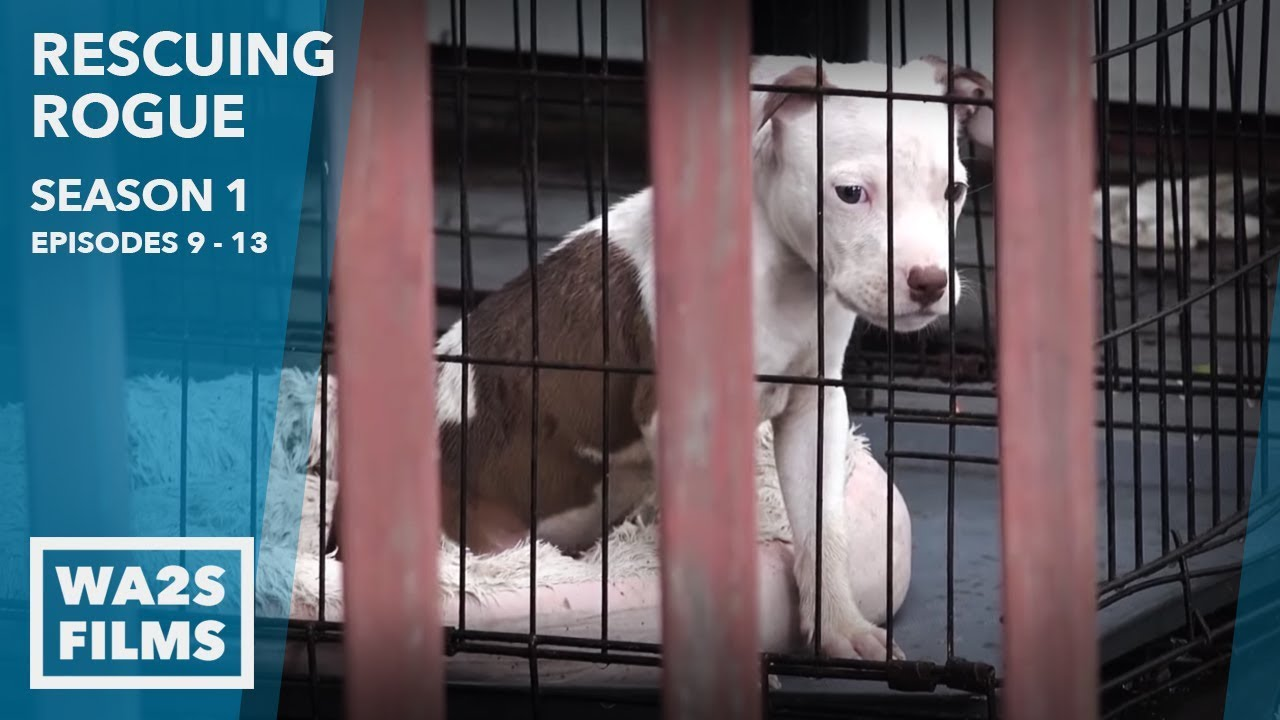 Download Chained Puppy Dog-Fighter Confronted Rescuing Rogue Season 1 Episode 9-13 - Hope For Dogs   My DoDo