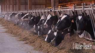 Vaches laitières Holstein et ration alimentaire à base d'ensilage de maïs
