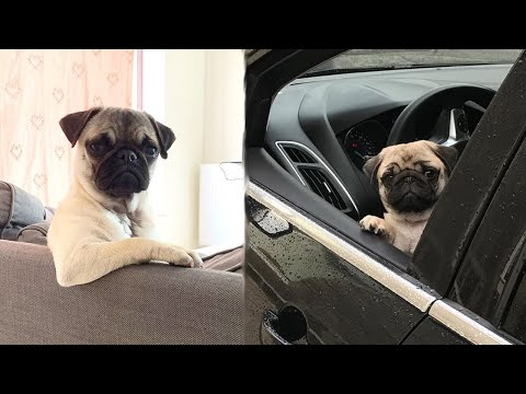 Funniest and Cutest Pug Dog Videos Compilation 2020  Cutest Puppy #5