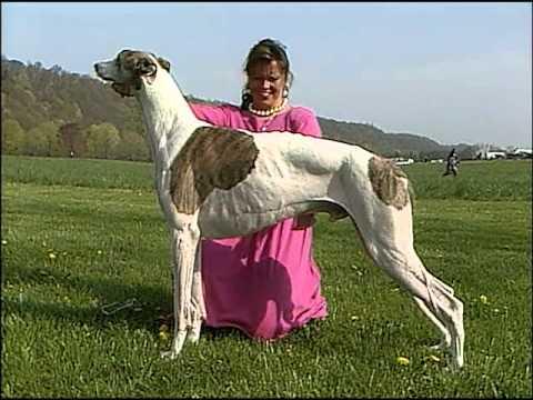 Greyhound - AKC Dog Breed Series