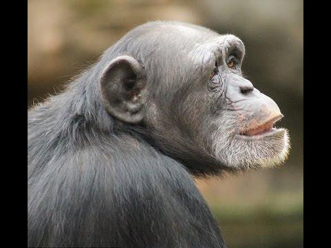 Chimpanzees Don't Like Music Like Humans Do