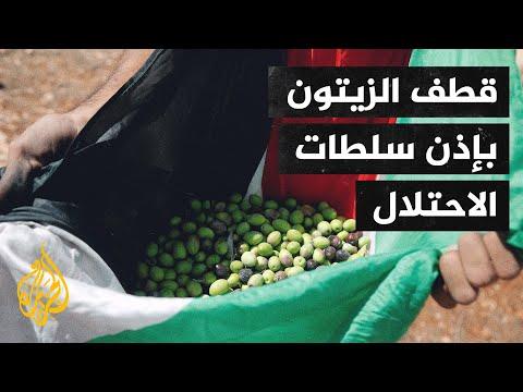 قطف الزيتون بالضفة الغربية مرتين في العام بإذن من سلطات الاحتلال