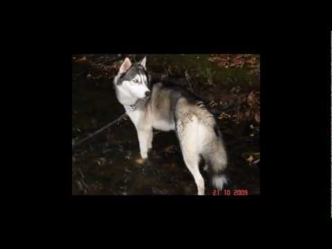 Eskimo Huskies Siberian Husky & Raw Feeding Advice Forum - Promotional Video