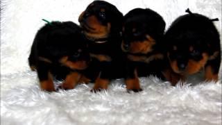 関西ロットワイラー子犬販売→ http://www.at-breeder.net/rottweiler/ka...