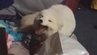 Arctic Fox Has a Case of the Giggles