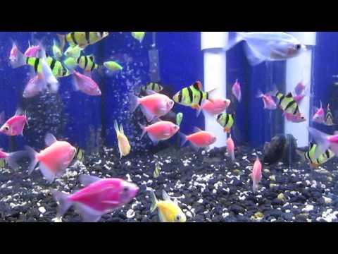 Fluorescent GloFish® In California Fish Store Video!