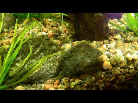 Черная борода водоросли в аквариуме Конечный результат Black beard algae in the aquarium the End res