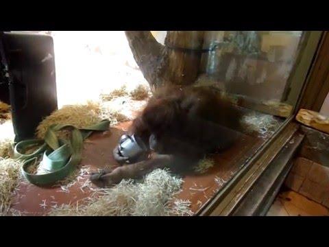 Orangutan babies and enrichment (Sumatran Orangutan, Budapest Zoo)