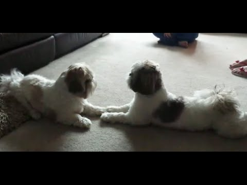 SHIH TZU LOUIS REUNITED WITH HIS MUM LACEY