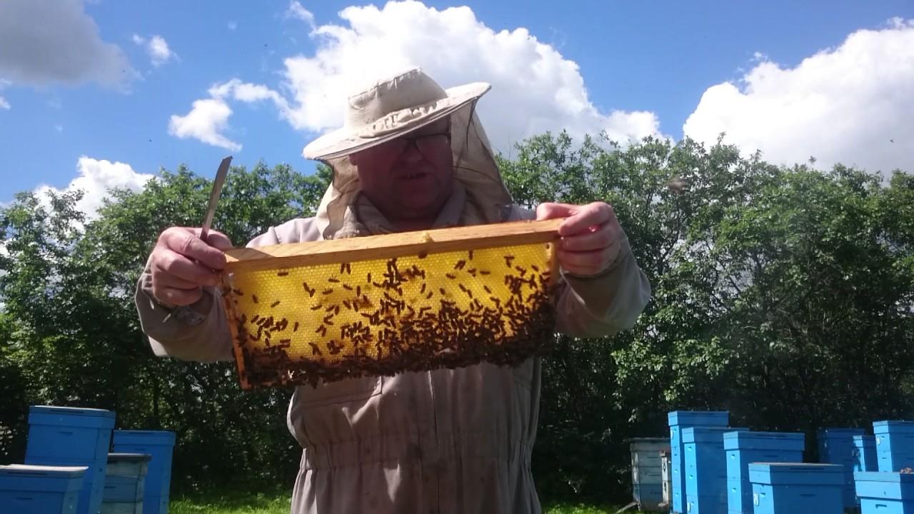 Медоносная пчелосемья на моей пасеке.