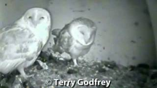 Barn Owls Mating On Nest Box Camera