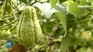 Largest chayote producer in Rio de Janeiro wants to exchange with Chinese producers
