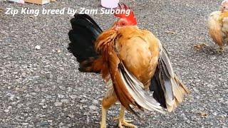Serama Zam Subang - rooster Zip King preparing for Kenyir Lake 2015