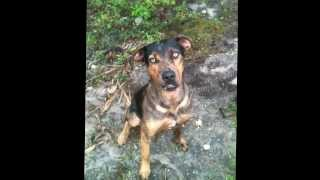 We Love Them All....bolton Is A Beautiful, Good, Catahoula Boy. Come Check Him Out Citrus County.