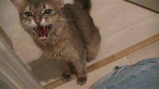 子猫に威嚇はするが、飼い主の手前、手が出せないソマリ兄さん thumbnail