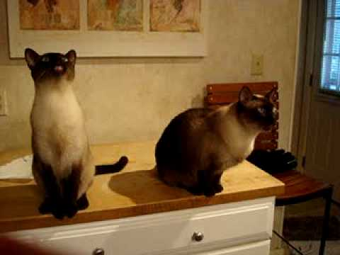 Singing Siamese Cats