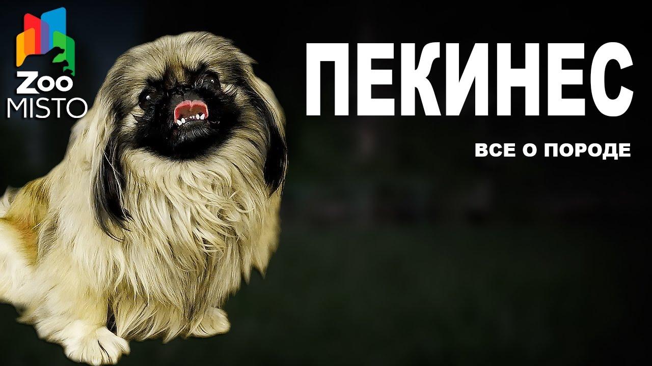 Пекинес - Все о породе собаки | Собака породы - Пекинес